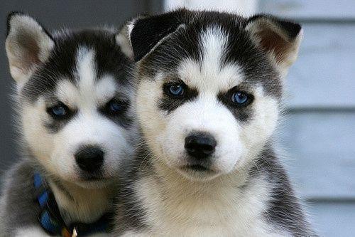Angry Looking Huskies Dogsandpuppieshusky Siberianhusky Husky