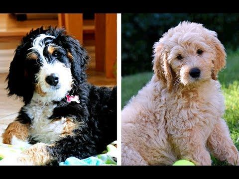 Bernedoodle Vs Goldendoodle Puppies And Full Grown Dogs