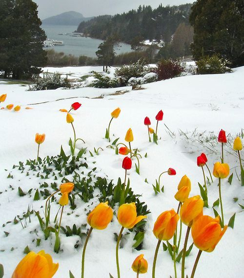 spring snow over tulips
