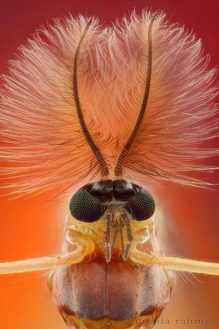 Plumose midge by nikolarahme, via Flickr