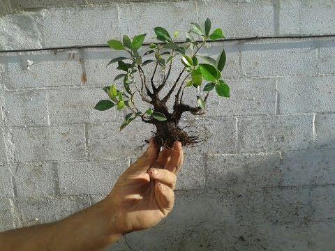C mo hacer un mini bonsai mame youtube plantas for Como cultivar bonsais
