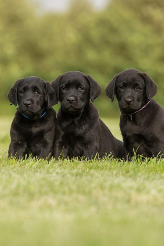 Labrador Puppies In 2020 Labrador Retriever Labrador Puppy Puppies