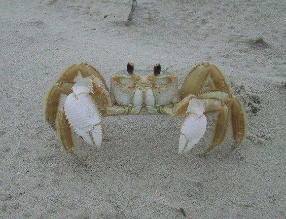 sand crabs at the OBX - Google Search
