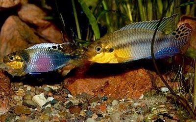 Pelvicachromis subocellatus (Günther, 1872)