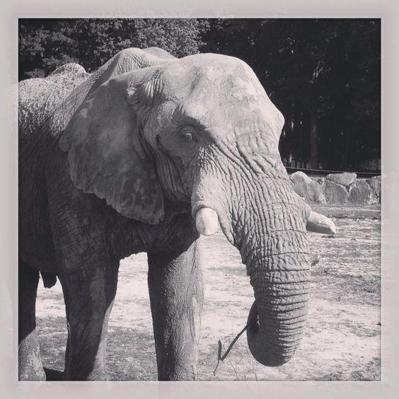 PKRO - Thoiry Elephant #pkro #pascalcarro #elephant