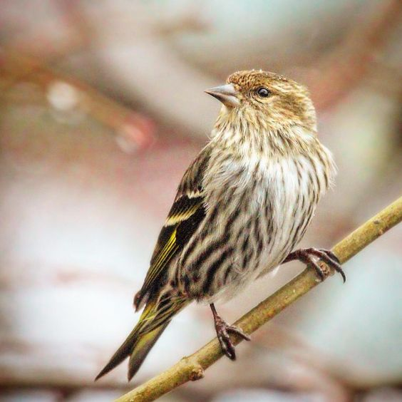 Pine Siskin #pinesiskin #woodshole #capecod #birds #birding #birdwatching #birdphotography #feather_perfection #chasing_feathers #whatschirping #nuts_about_birds #rsa_nature_birds #bns_birds #your_best_birds #kings_birds #tgif_aviary #udog_feathers...