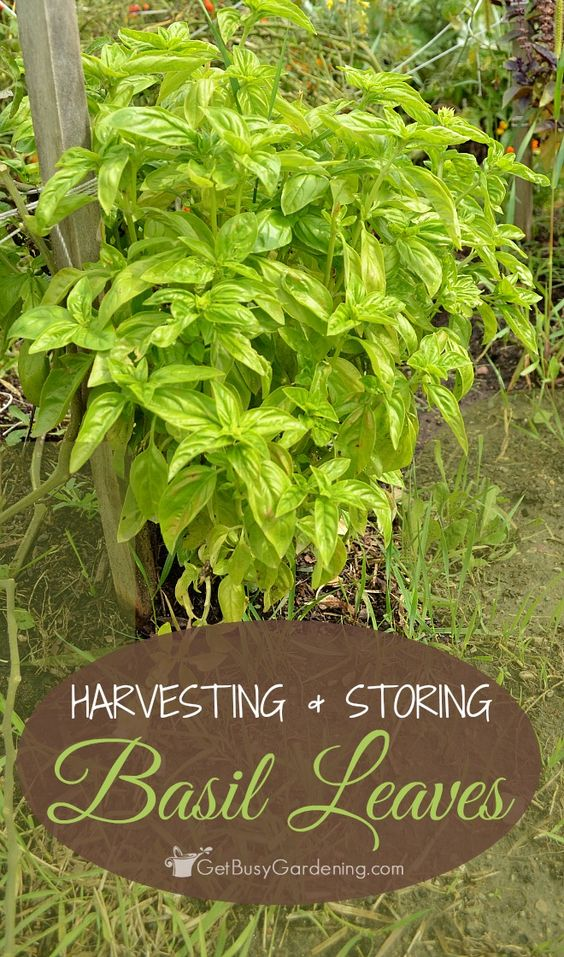 Harvesting and storing basil leaves is one of the first things I do in late summer, so I can preserve as much of the amazing flavor as I can for winter.