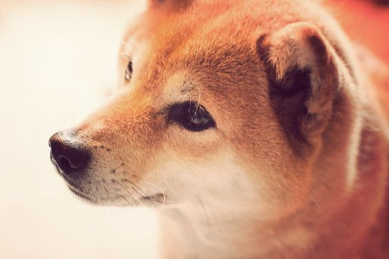 Shiba!
