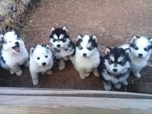 Pure Breed Siberian Husky Puppies For Sale Cape Town Siberian