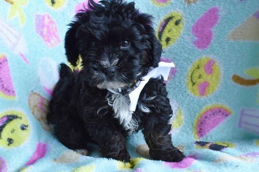 Poodle Toy Yorkshire Terrier Mix Puppy For Sale In East Earl Pa