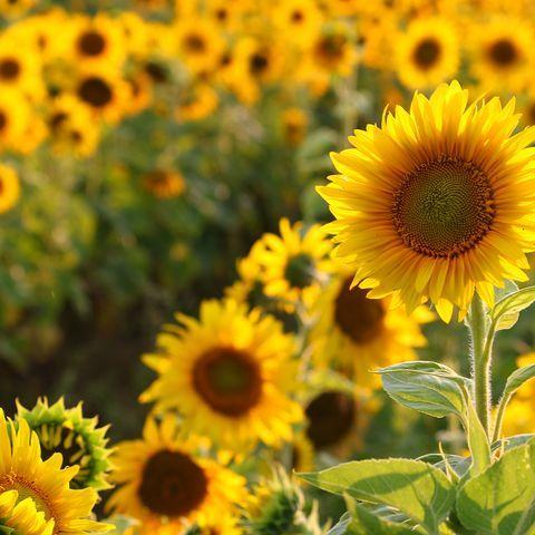 The Prettiest Sunflower Fields To Visit Across The U S In 2020 Sunflower Fields Sunflower Field Near Me Sunflower