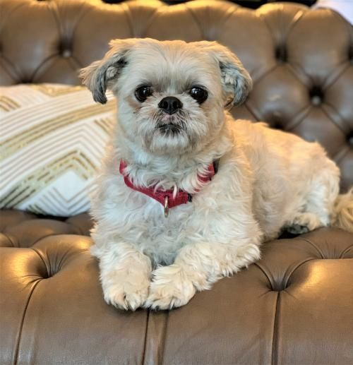 Suzie Is An Adoptable Shih Tzu Searching For A Forever Family Near