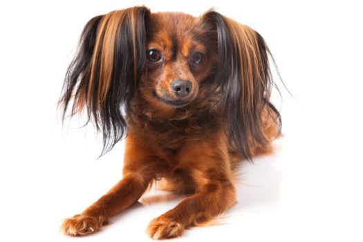 Russian Toy Puppies For Sale Unusual Dog Breeds Russian Toy Terrier Cute Dogs And Puppies