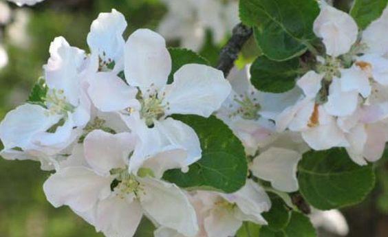 VollfrühlingApfelbäume öffnen ihre Blüten mit dem Beginn des phänologischen Vollfrühlings, bald darauf folgen Himbeeren. Auf den Äckern strecken sich die Halme des Wintergetreides in die Höhe