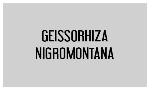 Geissorhiza nigromontana
