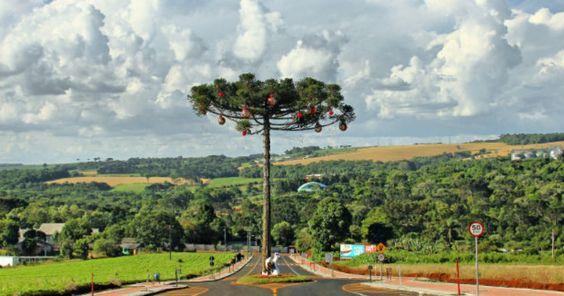 Rua de Pato Branco tem desvio para árvore ameaçada de extinção