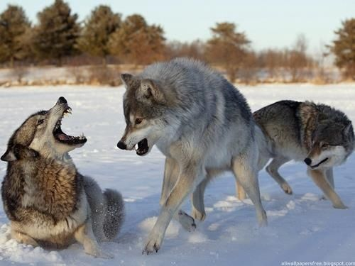 Wolves are constantly challenging and vying for dominance.