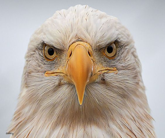 """Don't mess with *America*!"" -- [American Icon... Bald Eagle]~[Photographer Sabry Mason - June 2012]'h4d'121129"