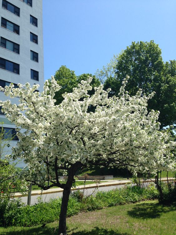 Tree or Bush with white blooms. :-)