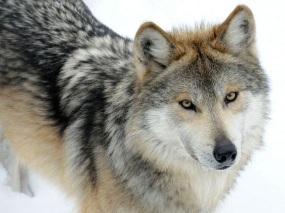 I got: Wolf! What Is Your Inner Animal?