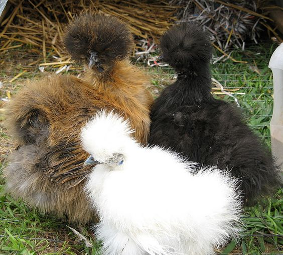 The Silkie – Tribble Rabbit Muppet Chicken Thingy ~ The Ark In Space