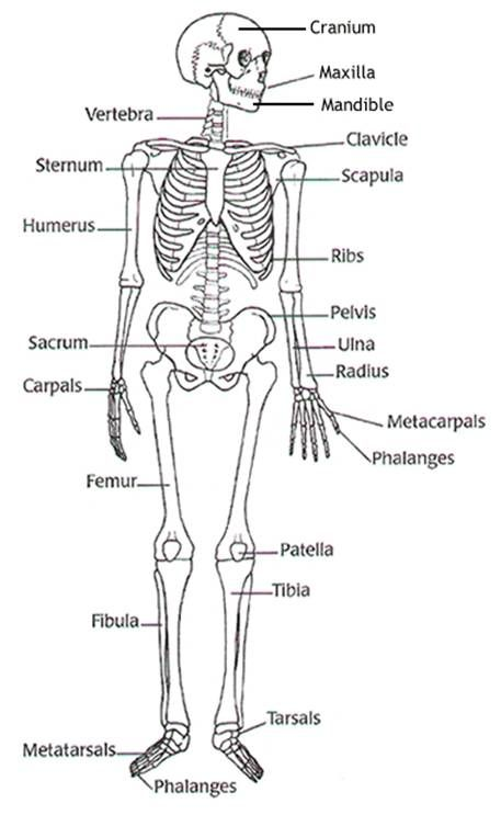 Blank Diagram Skeleton Human Body | Label the blank worksheet to ...