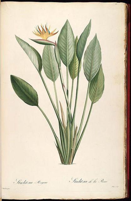 Bird of Paradise, biodivlibrary, botanical illustration