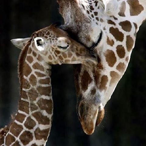 How adorable is this!! ❤️❤️ #giraffe #photooftheday #cute #petstagram #supercute #pets #tagsforlikes #instafollow
