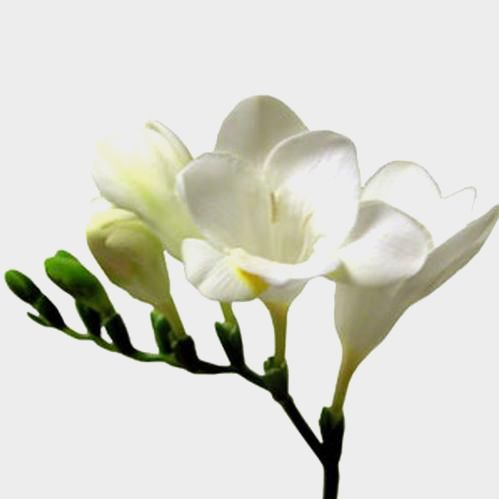 Freesia White Flower Freesia Bridal Bouquet Freesia Flowers Flower Bouquet Wedding