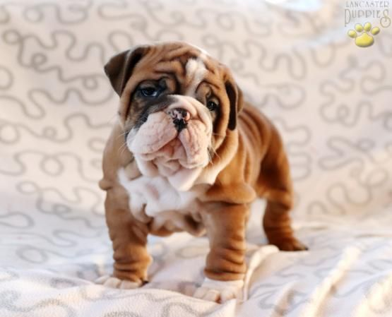 Englishbulldogpuppies Puppiesofpinterest Pinterestpuppies Buckeyepuppies Puppies Pups Pup Puppy Funloving Sweet Puppy Baby Animals Cute Dogs Puppies