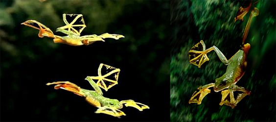 Rhacophorus Nigropalmatus, la grenouille volante - http://www.photomonde.fr/rhacophorus-nigropalmatus-la-grenouille-volante/