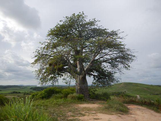 Baobá - Porto de Galinhas - PE (Arvore do Livro o Pequeno Principe)