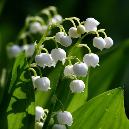 Convallaria Majalis Lily Of The Valley Lily Of The Valley Spring Flowering Bulbs Herbaceous Perennials