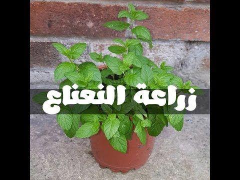 طريقة زراعة النعناع من حزمة نعناع من الخضري و كوب ماء فقط في اقل من 12 يوم Youtube Diy Plants Plants House Plants