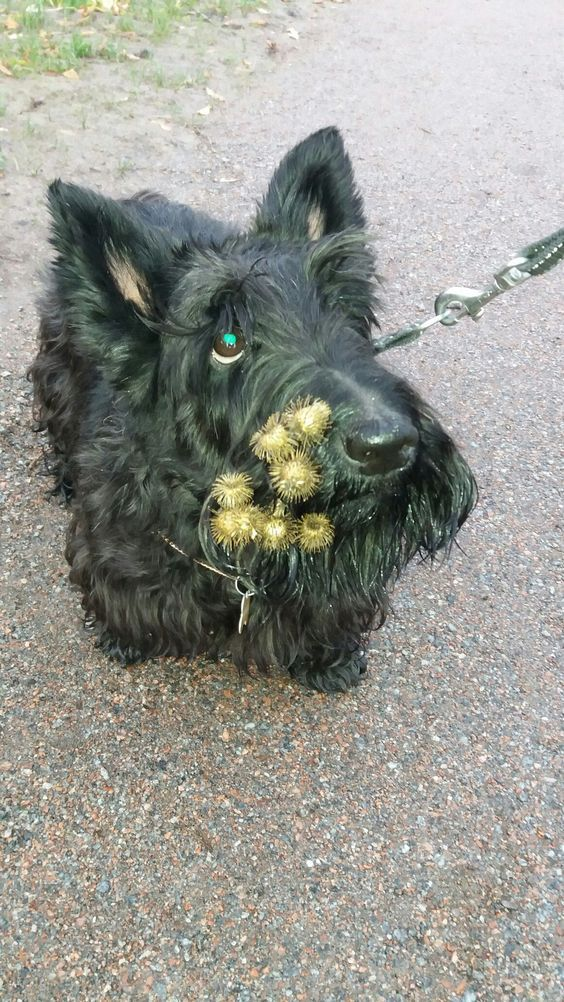 15 Funny Facts About Scottish Terriers Page 2 Of 3 Petpress In 2020 Scottish Terrier Scottie Dog Scottie Terrier