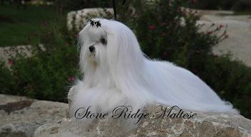 Maltese Puppies For Sale Stone Ridge Maltese Maltese Puppies For