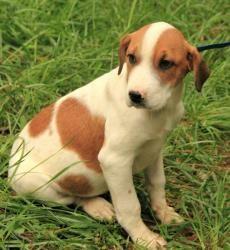 Our latest foster baby! Lambchop (In New England): Saint Bernard St. Bernard, Dog; Salem, NH