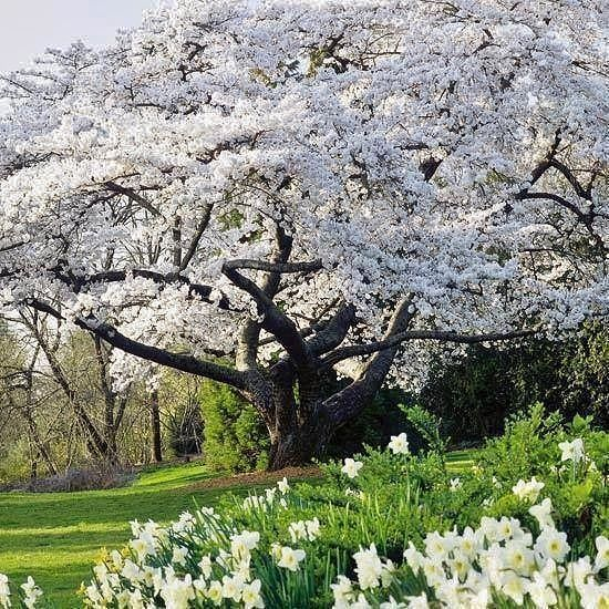 Pin By Jackie Dooling On Nature Ornamental Cherry Cherry Tree Beautiful Tree