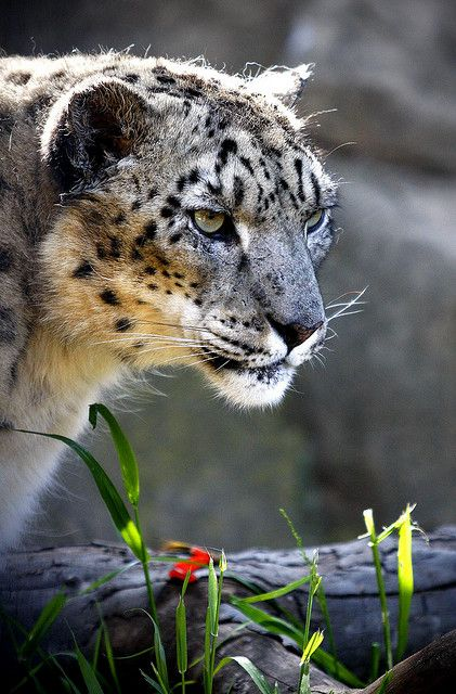 Snow Leopard (Gaze) | Flickr - Photo Sharing!