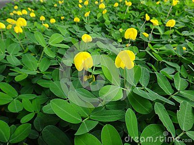 The creeping peanut is a genus of flowering plants in the family the creeping peanut is a genus of flowering plants in the family fabaceae with small yellow flowers and used in landscaping as a forage plant mightylinksfo
