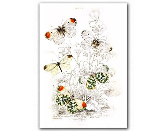 Amazing Butterflies, Natural History illustrationhttp://www.etsy.com/listing/108181806/amazing-butterflies-natural-history?ref=tre-2723246106-5#681team