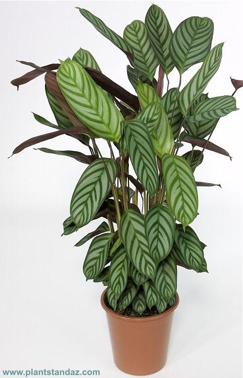 Ctenanthe Oppenheimiana Calathea Plant Ornamental Plants House Plants