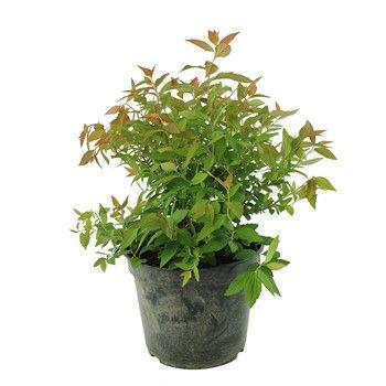 Spiraea japonica ' Magnum Rose ' :conteneur 5 litres