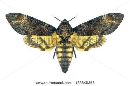 Sphingidae Fotos, imagens e fotografias Stock | Shutterstock