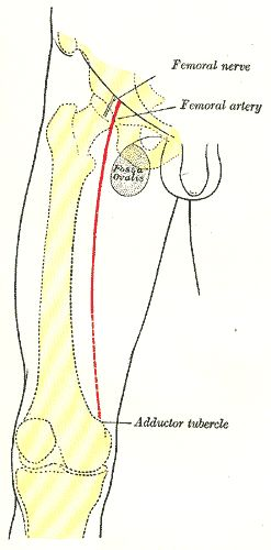 fig. 1245 - front of right thigh, showing surface markings for, Muscles