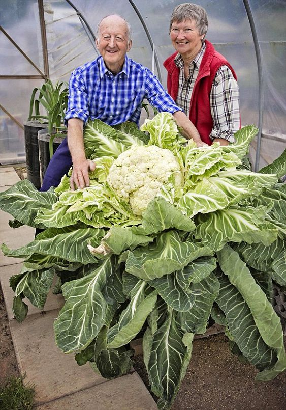 Peter Glazebrook, and his wife Mary, national judges from the Giant Vegetable Society crowned one of Peter's prize white brassicas - a monst...