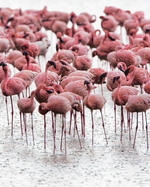 Fuchsia / Flamingos