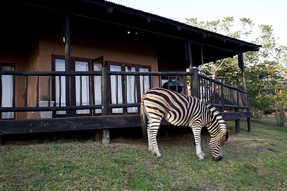 Zebra comes to visit Swallows House, Hazyview, South Africa. #zebra #nature #wildlife