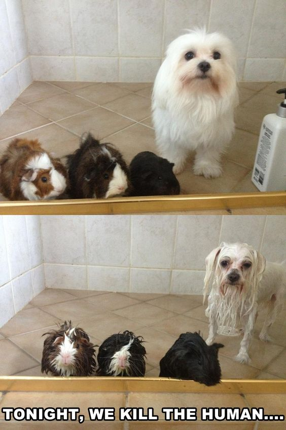 This is just amazing. Poor little guys.: Funny Picture, Funny Stuff, Funny Animal, So Funny, Guineapig, Bath Time, Guinea Pigs