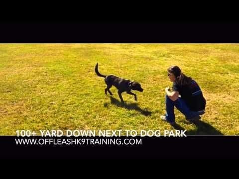 Labrador Retriever Puppies Dayton Ohio 2 Year Old Lab Hound Mix